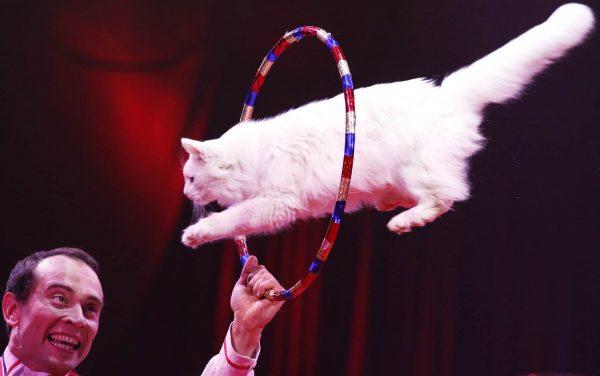 белый кот прыгает через обруч