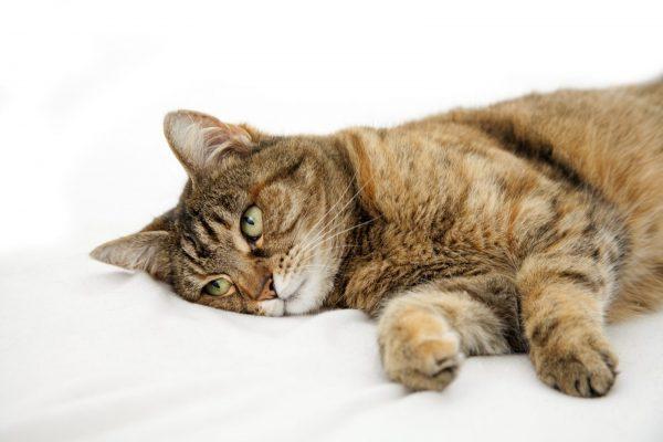больная кошка на белой простыни
