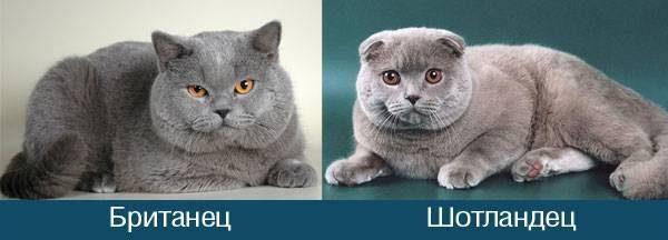 Британский и шотландский кот