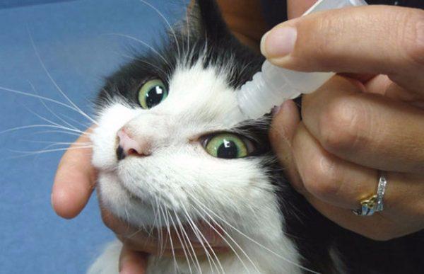 Чёрно-белой кошке закапывают лекарство в глаза