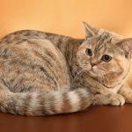 Короткошёрстная шотландская кошка со стоячими ушами