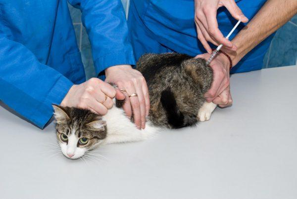 кошке делают укол в мышцу