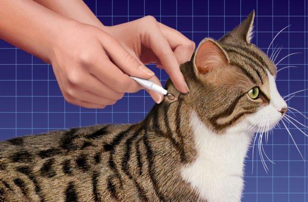 Кошке на холку наносят средство
