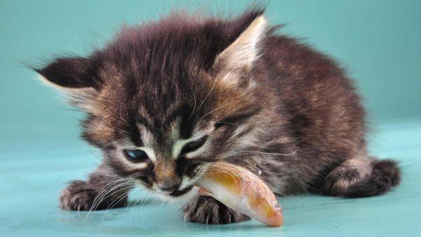 котёнок ест рыбку
