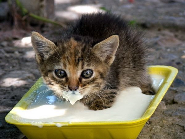 Котёнок в корыте со сметаной
