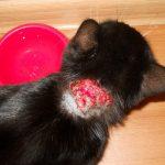 кровавая рана на шее кошки