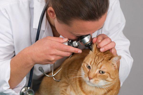 Отоскопия у кошки