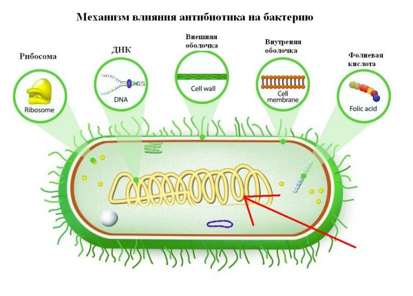 Влияние Ципровета на бактериальную клетку