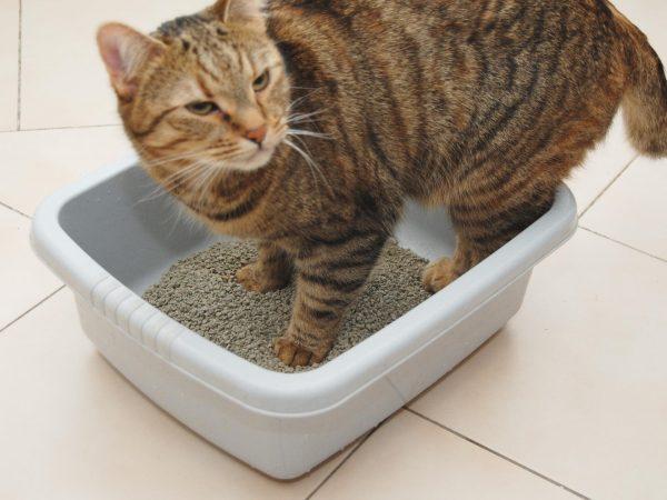 Полосатый кот в лотке с наполнителем