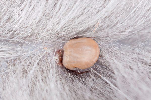 Присосавшийся клещ на коже кошки