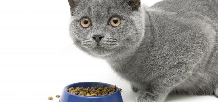 серый кот и синяя миска с кормом