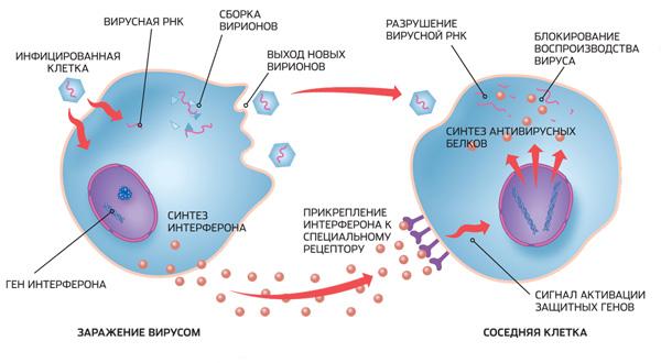 Схема влияния интерферона на вирус