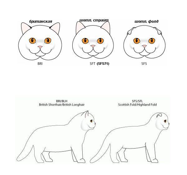 Схематичное изображение различий между британцами и шотландцами