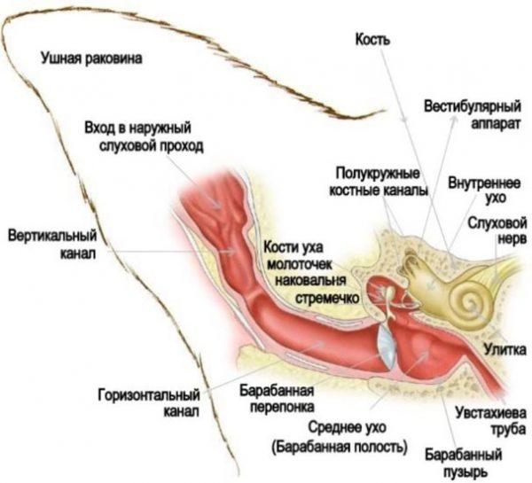 Строение уха кошки