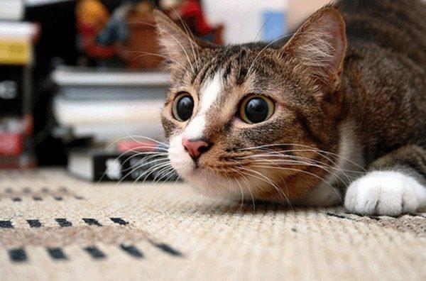 трёхцветная кошка с большими зрачками