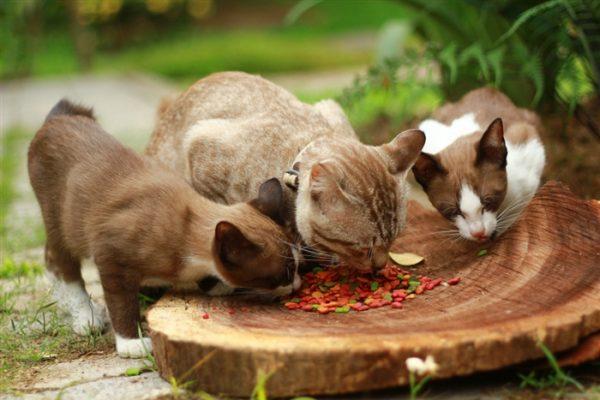 Три кошки едят корм