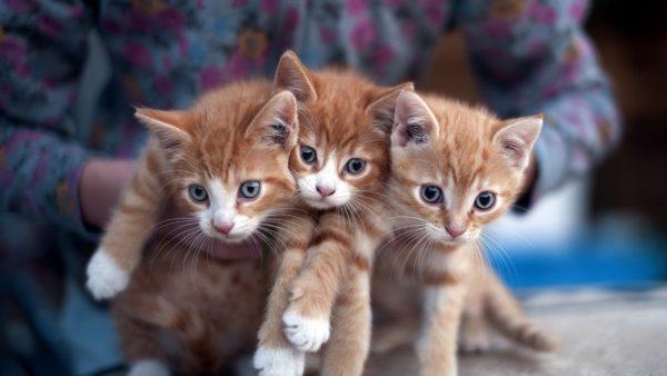три рыжих котёнка