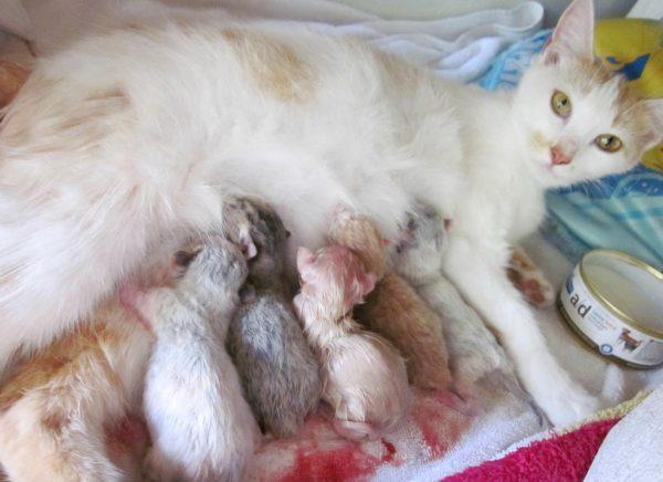 Турецкая ванская кошка и пятеро котят