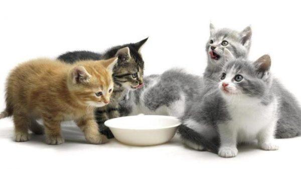 котята разного окраса около миски