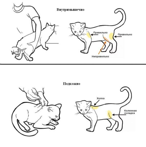 Места инъекций у кошки
