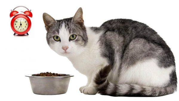 Кошка, корм в миске и будильник