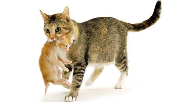 Кошка с тикированным окрасом несёт рыжего котёнка в зубах