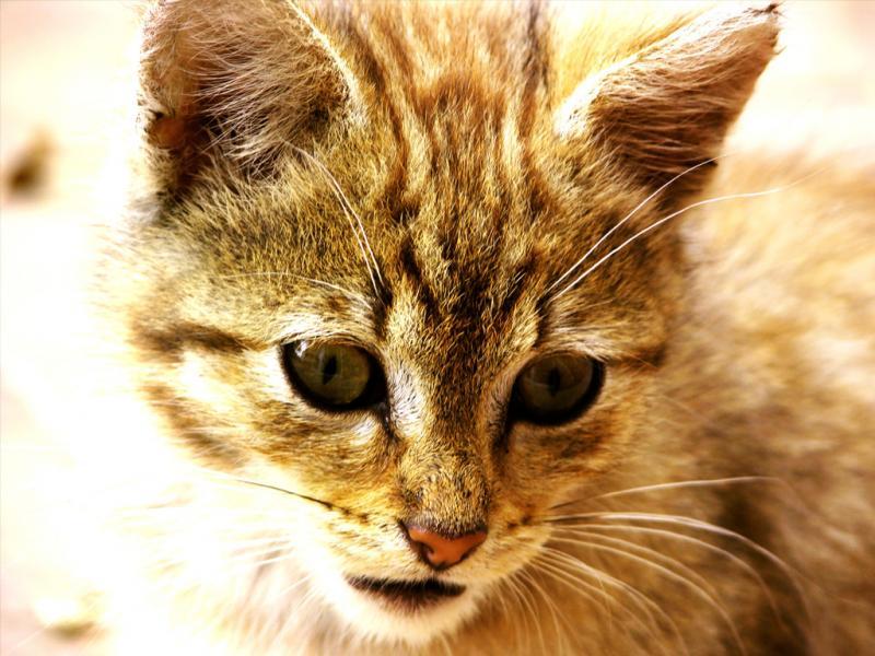 Как понять, что у кошки панлейкопения