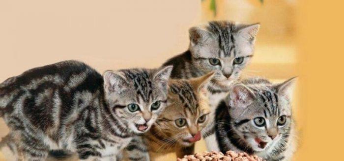 Котята едят сухой корм