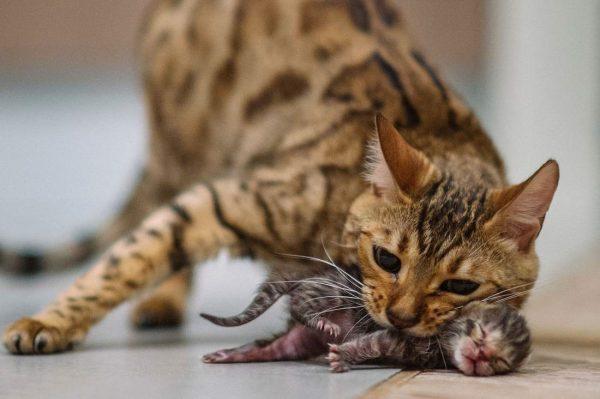 Бенгальская кошка с маленьким котёнком