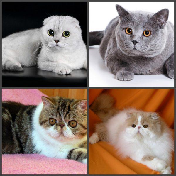 Короткоголовые породы кошек
