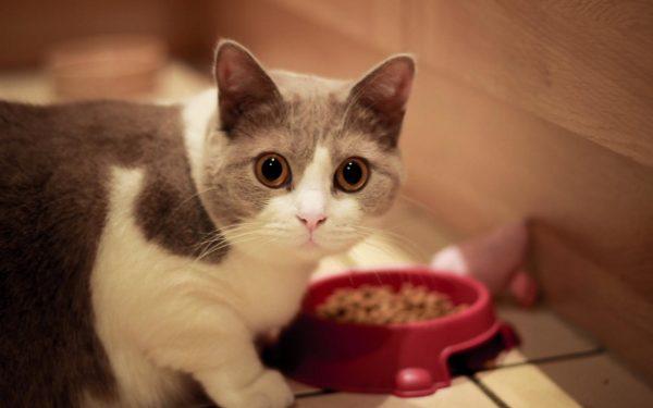 Кошка над миской с кормом