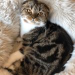 Кошка Шиффер