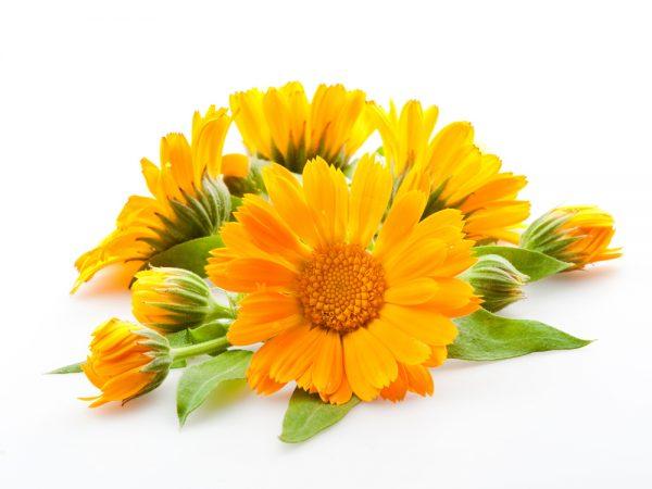 Цветки календулы