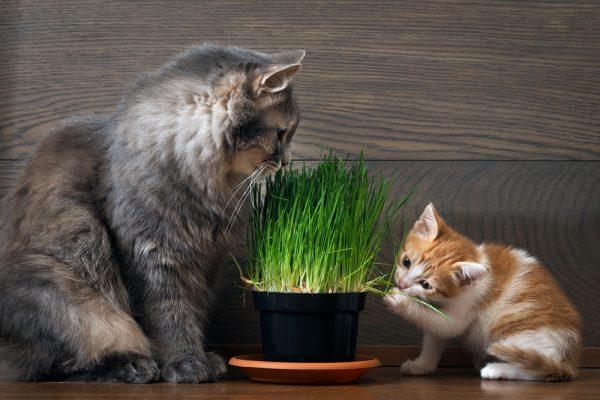 Коты едят травку для кошек