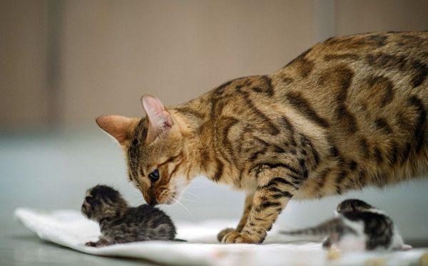 Бенгальская кошка Марта и её котята