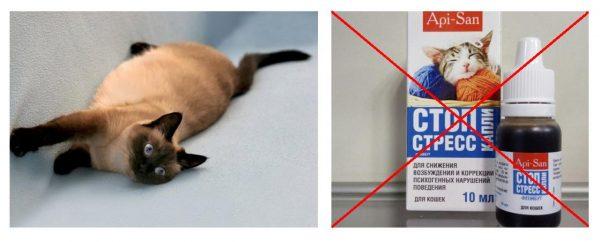 Беременная тайская кошка и Стоп-стресс