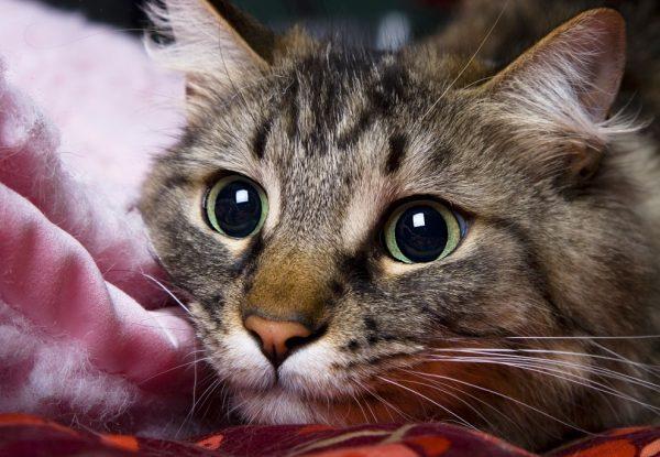 Кошка в период стресса