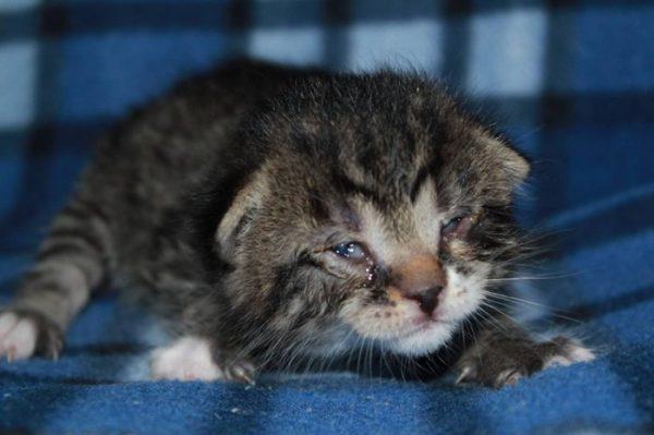 Гноятся глаза у котёнка