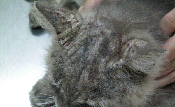 Прогрессирование нотоэдроза у кошки