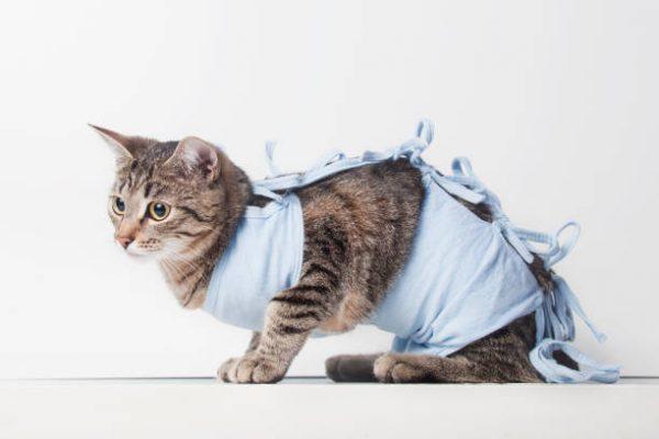 Кошка в голубой послеоперационной попоне