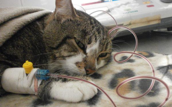 Переливание крови кошке
