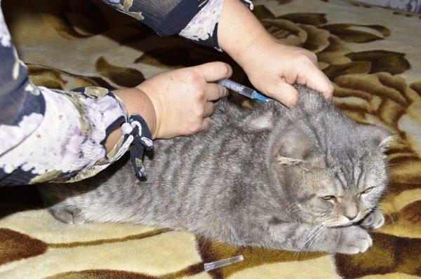 Коту делают укол в холку