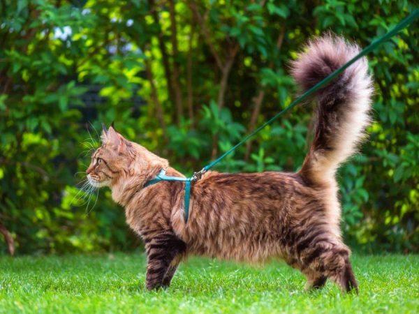 Сибирский кот на лесной прогулке
