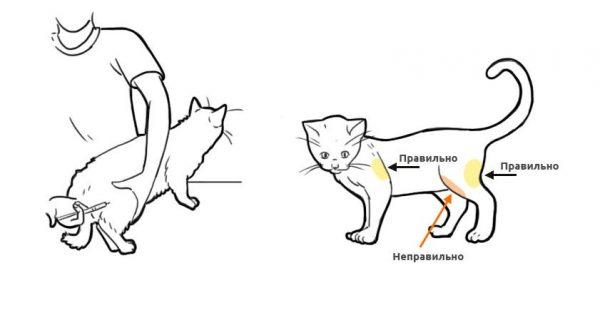 Схема выбора места для инъекции кошке