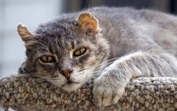 Старый кот с рваными ушами