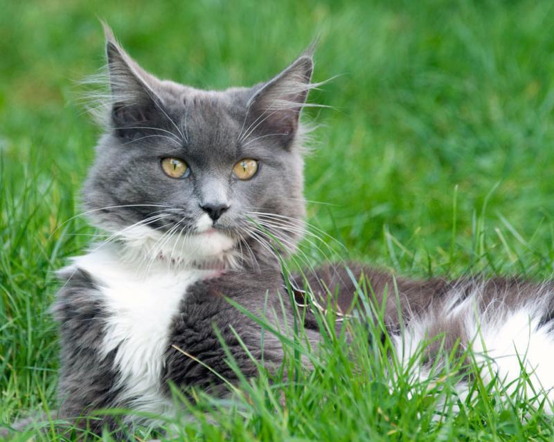 Препарат Страйд Плюс: помощь при заболеваниях опорно-двигательного аппарата у кошек