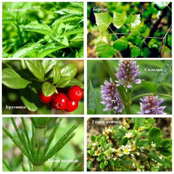Лекарственные травы в составе Стоп-цистита