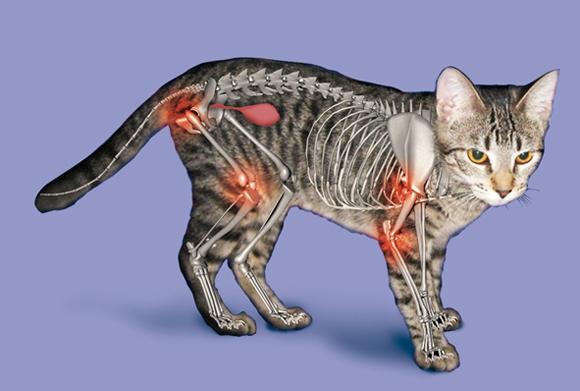 больные суставы у кошки