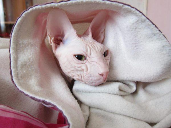 Лысые кошки нуждаются в тепле