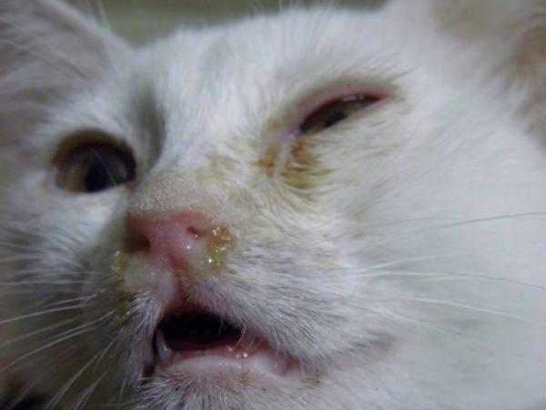 Гнойные выделения из носа у кошек